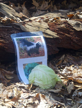 A photo of a skunk and a head of cabbage were used to help Lindberg describe a plant called skunk cabbage, which looks and smells like rotten meat. (Photo: Joseph Kellard)