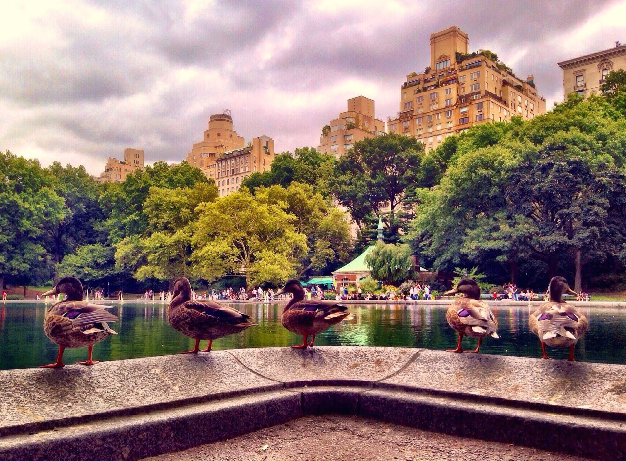 DUCKS ROW : I was passing through Central Park when I crossed paths with these ducks lined up along the Conservatory Water. I inched up close to the birds, crouched down with my iPhone, and angled it to include the trees, buildings and stormy sky above. The ducks cooperated just long enough for me to capture this moment in time.
