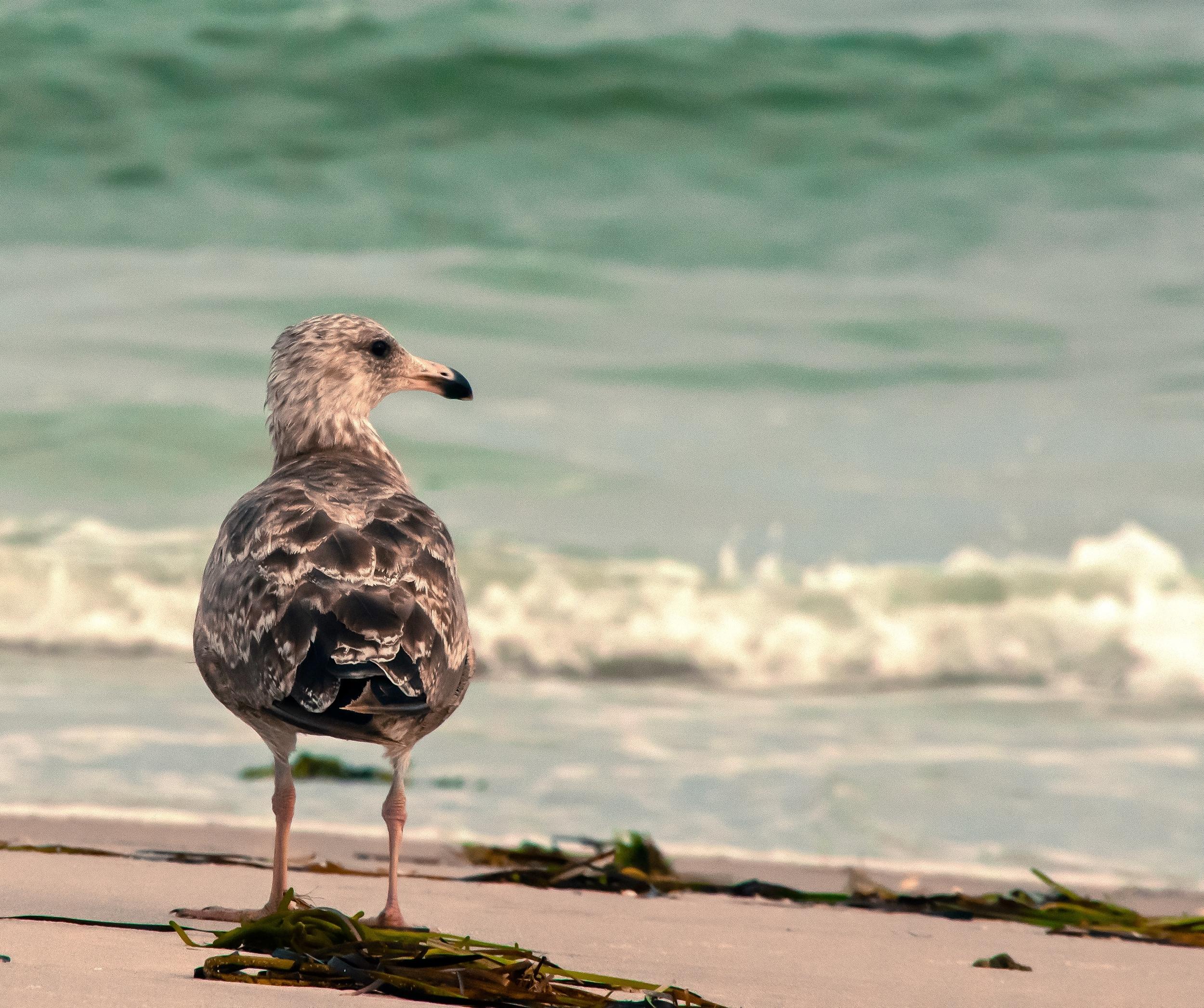 @ seagull_seaweed_long beach_© 2015 Joseph Kellard:Kellardmedia.com.jpg