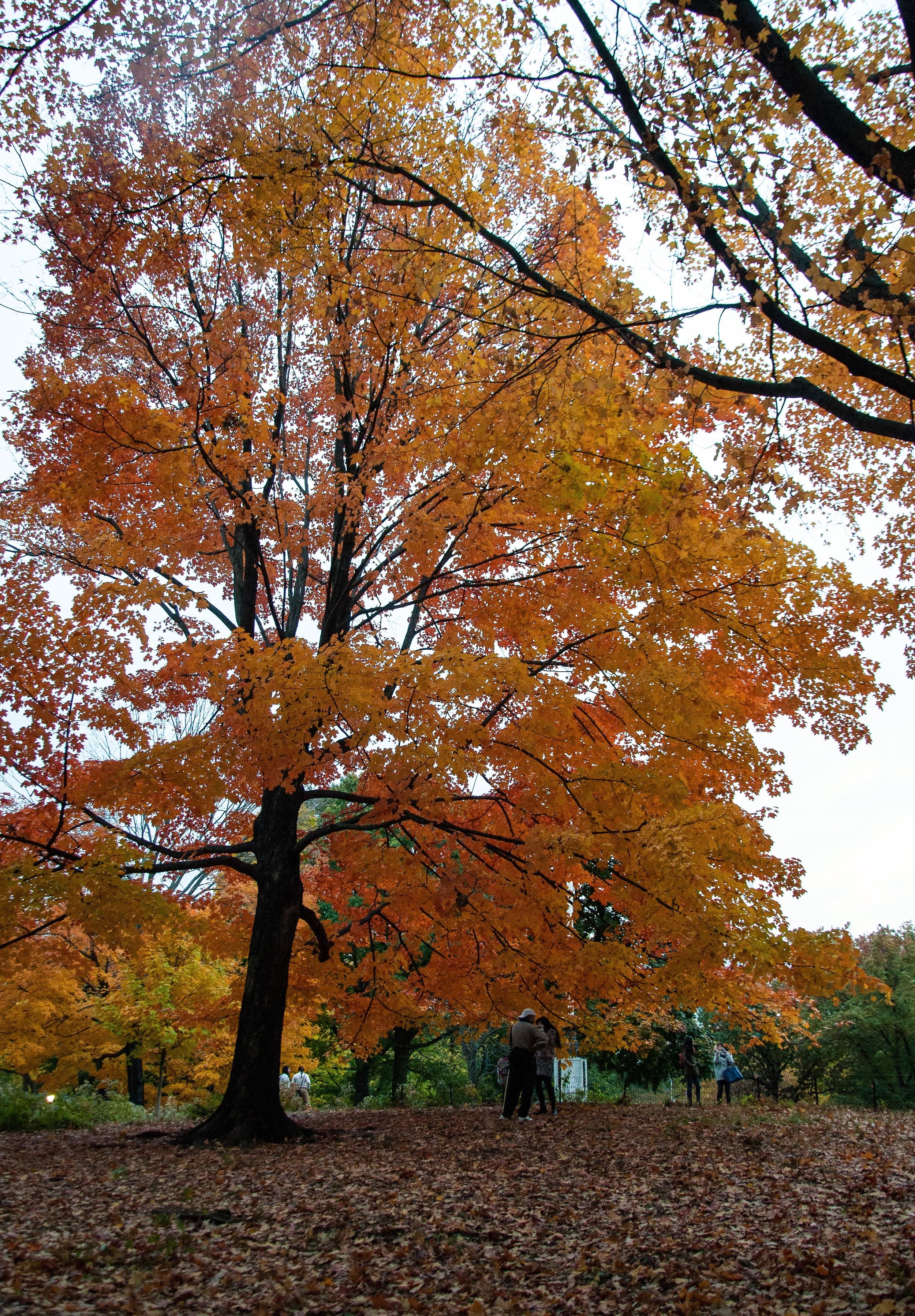 @ @ @ Central Park_Autumn trees_ copy.jpg