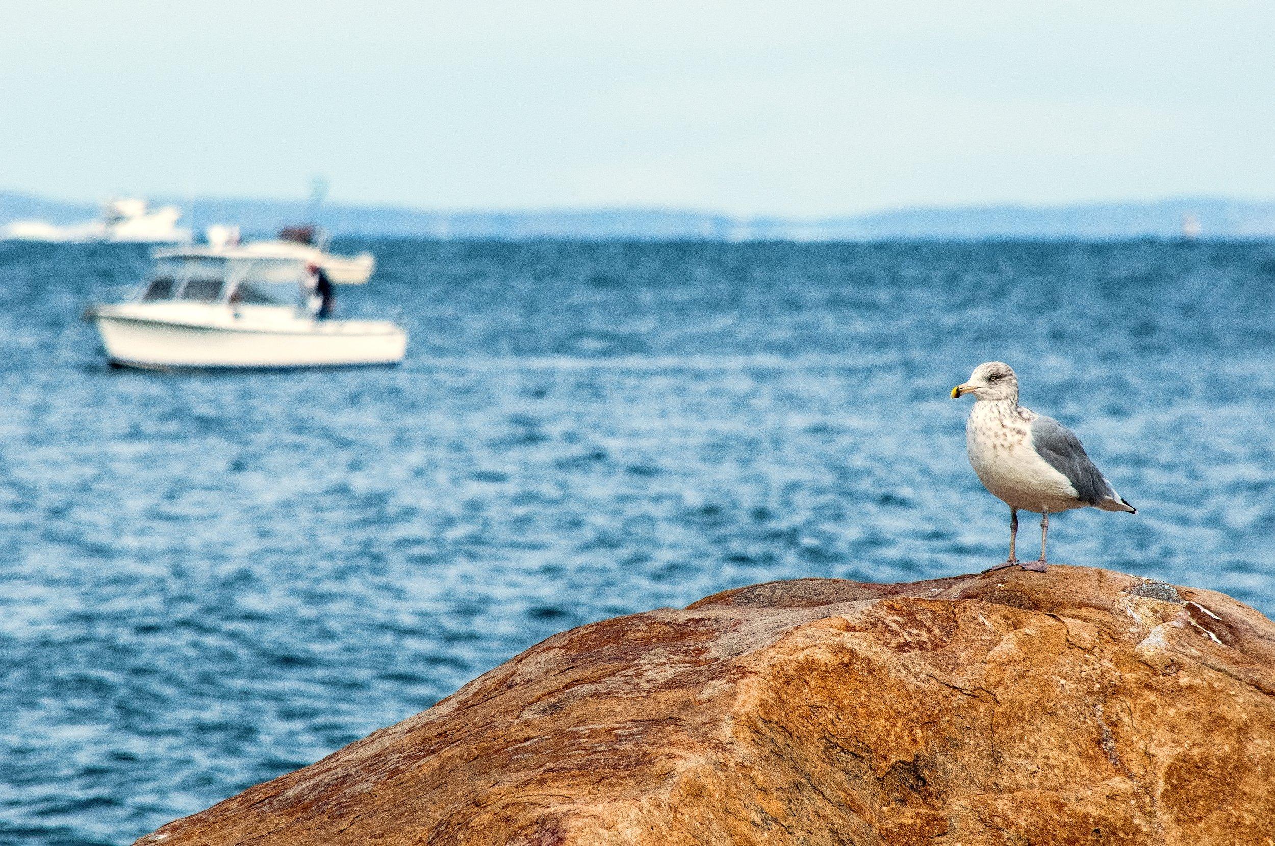 @ Seagulls_Horton Point_Long Island Sound_Photo © 2016 Joseph Kellard:kellardmedia.com.jpg