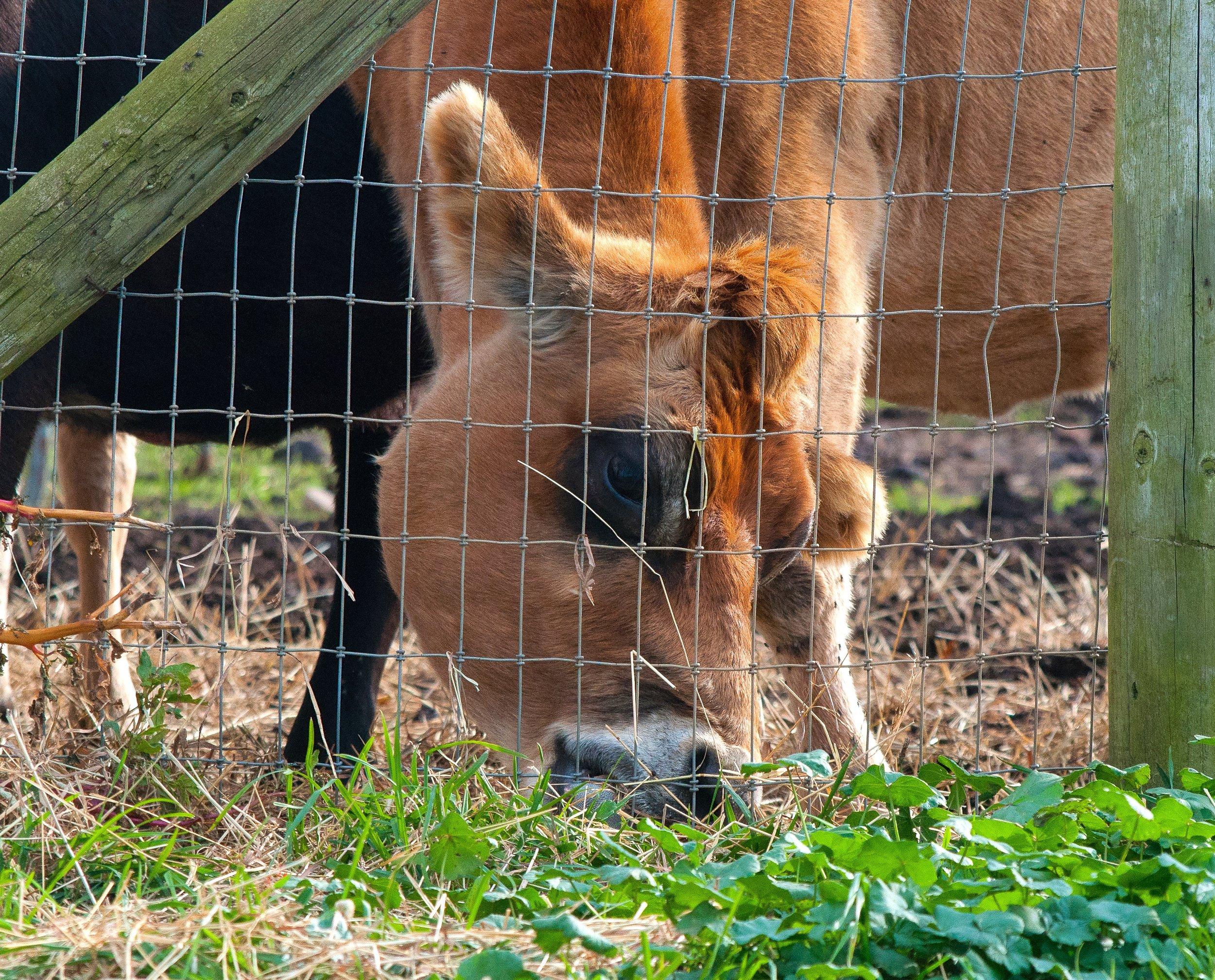 @ Cow on North Fork_Photo © 2016 Joseph Kellard:kellardmedia.com.jpg