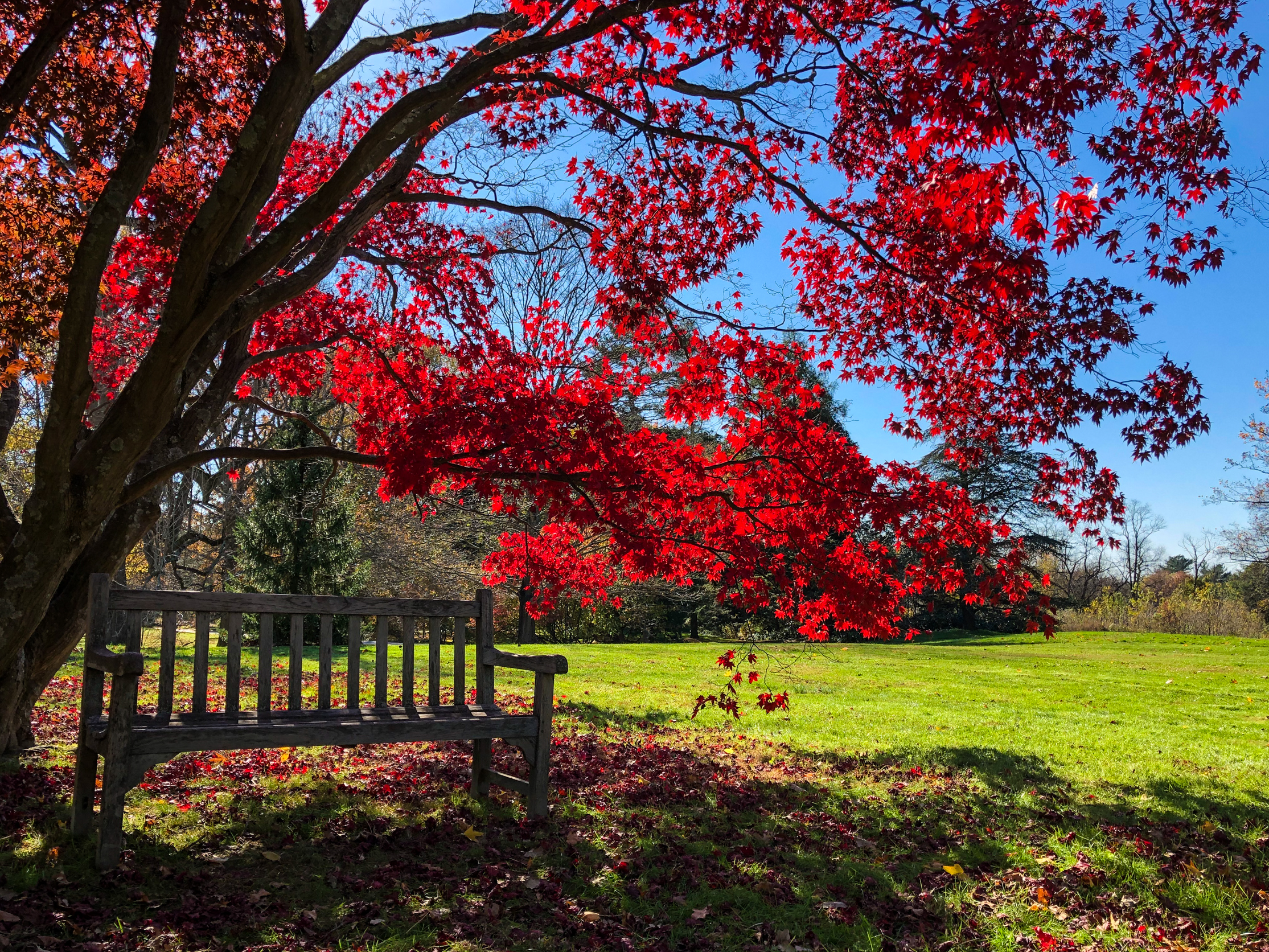 __@ Red maple tree_bench_Old Westbury Gardens 11.11.18_Photo © 2018 Joseph Kellard:kellardmedia.com.jpg