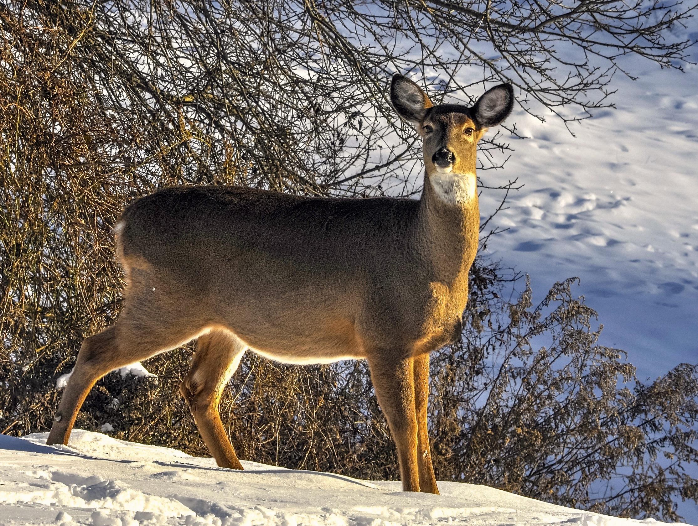 @ @ Deer_doe_Deposit NY_Photo © 2018 Joseph Kellard:kellardmedia.com.jpg