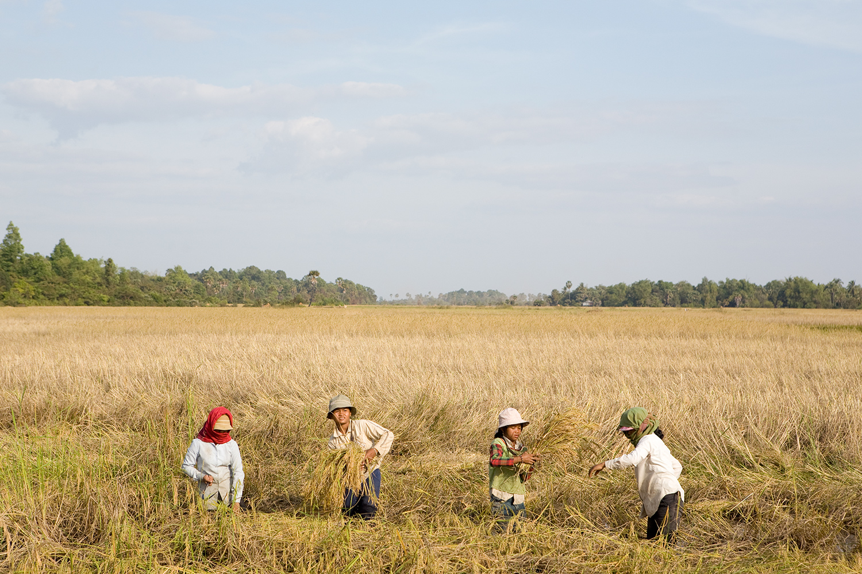 Harvesting. Cambodia.