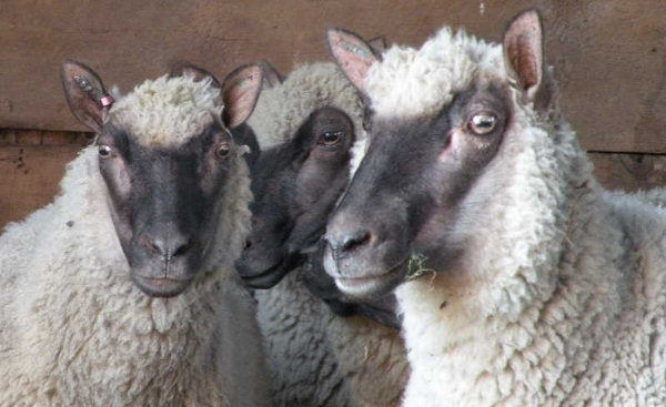Clun Forest ewes, a threatened species, from a family farm on the Québec-Ontario border.
