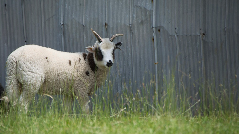 A Jacob lamb from Cindy Ghent's flock here in Ontario.