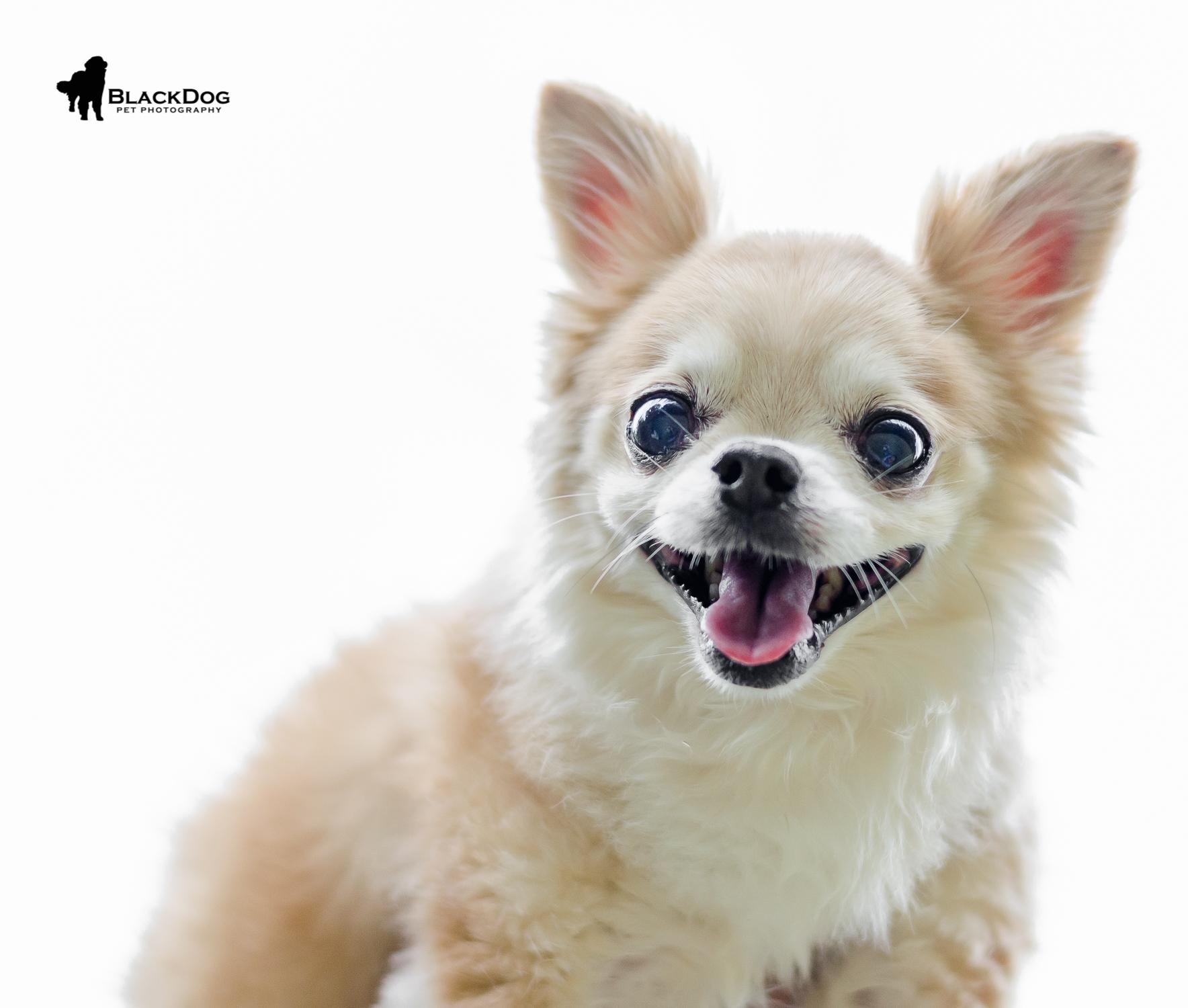 Linnea Smith, Mr. Jingles, dog, Chihuahua-385.jpg