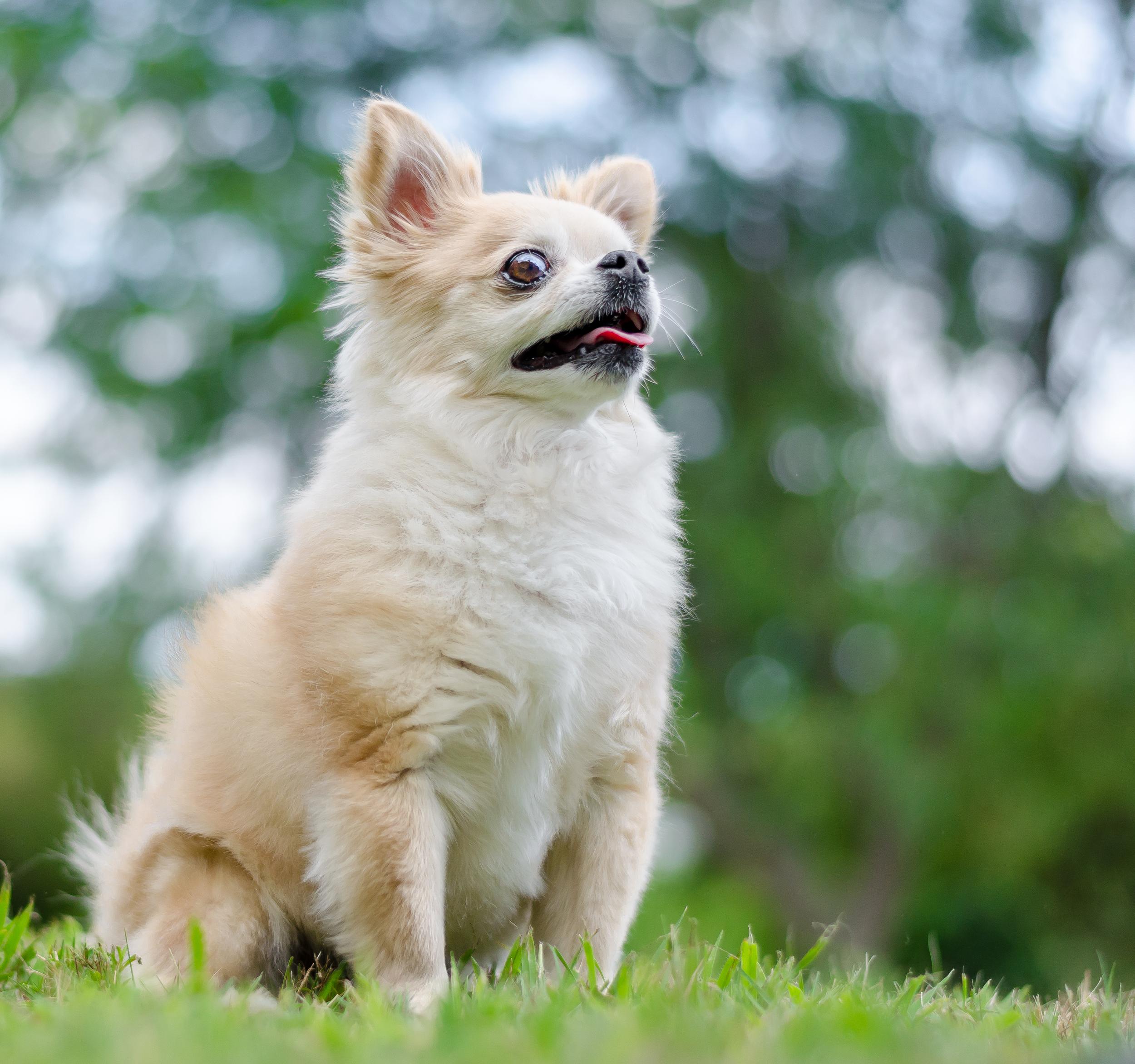 Linnea Smith, Mr. Jingles, dog, Chihuahua-59.jpg