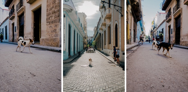 cuban stray dogs