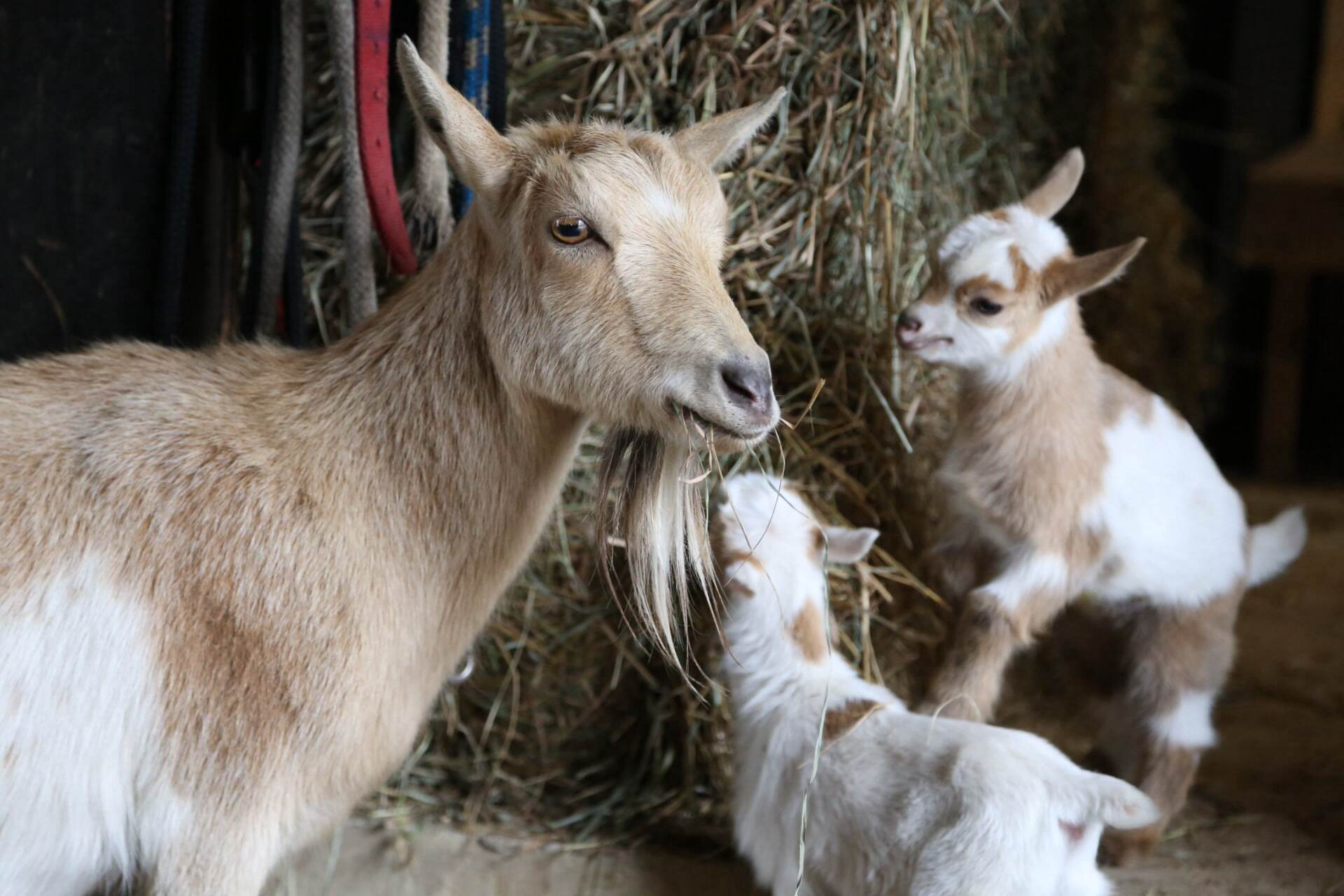 Nigerian dwarf goats.  Yep, we're getting goats.  More on that later!