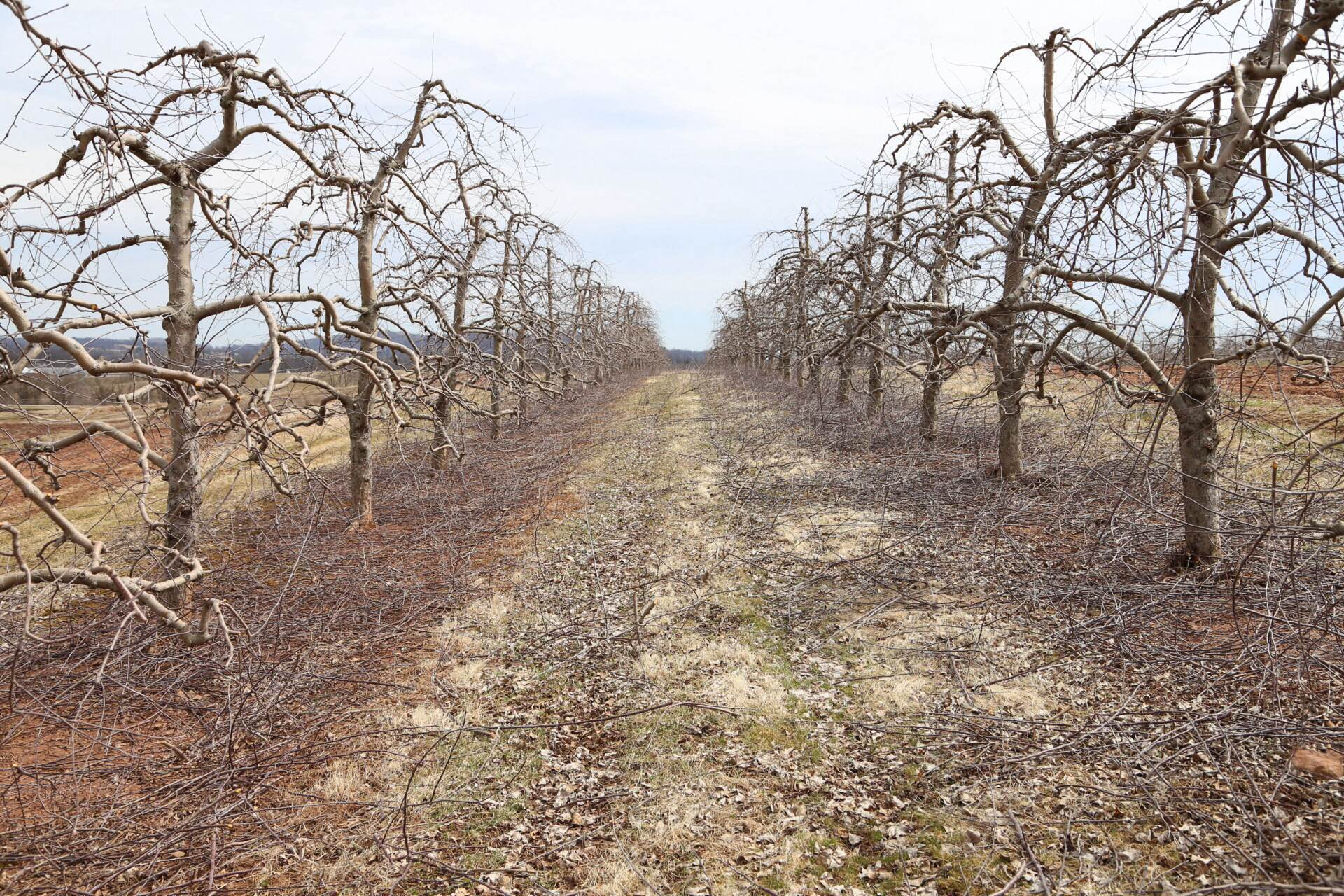 Apples after pruning