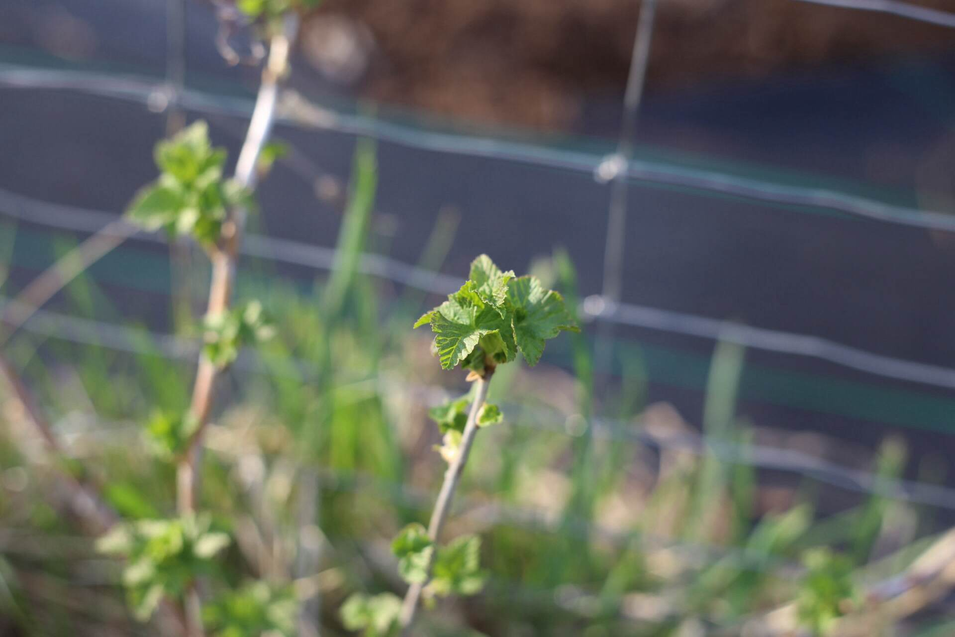 Currants leafing out