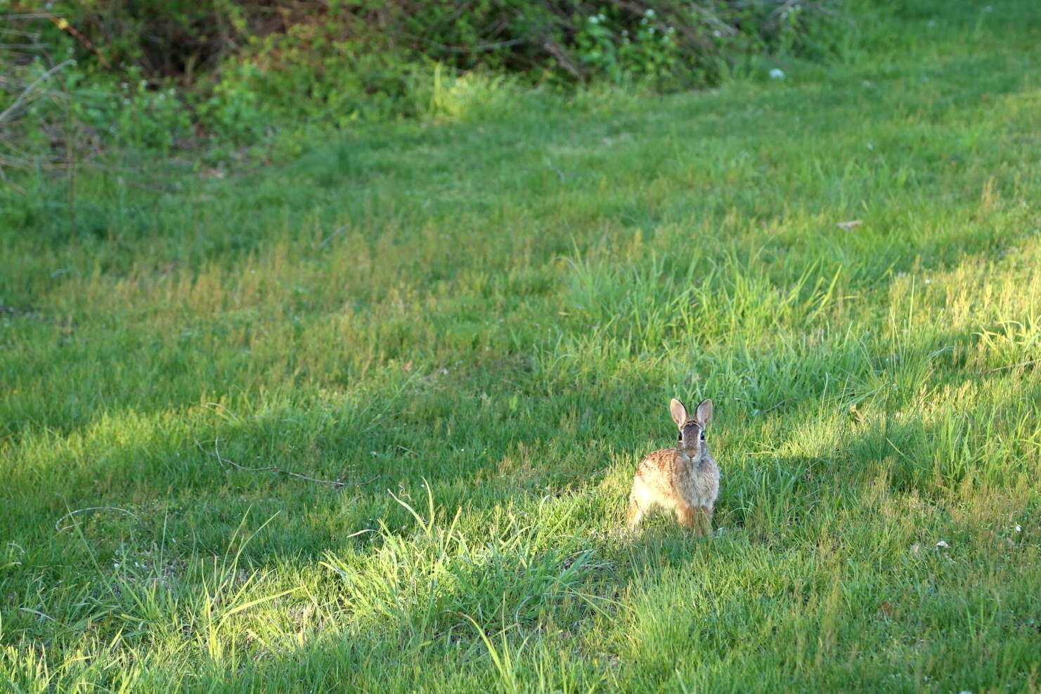 We must have a dozen of these in the yard.  Time for rabbit pie for dinner?