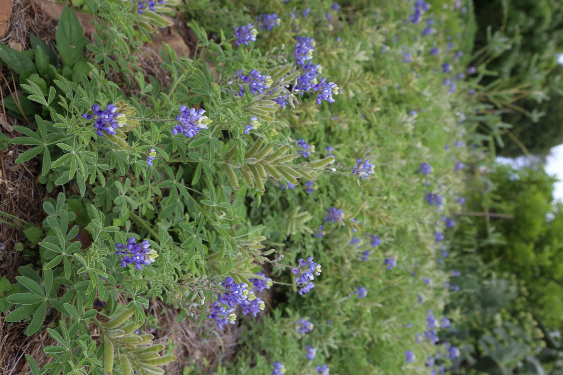 No Texas garden is complete without bluebonnets