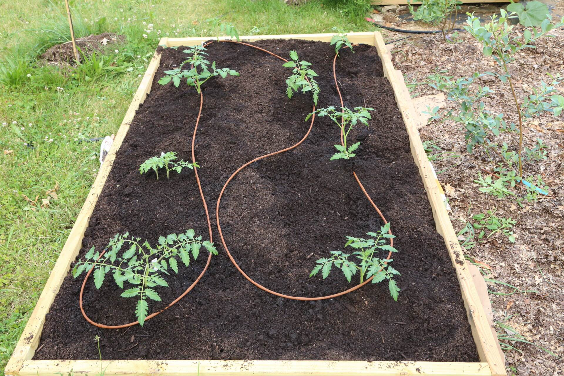 Late-planted tomatoes with drip tubing installed. Most are cherries so they should all bear pretty quickly!
