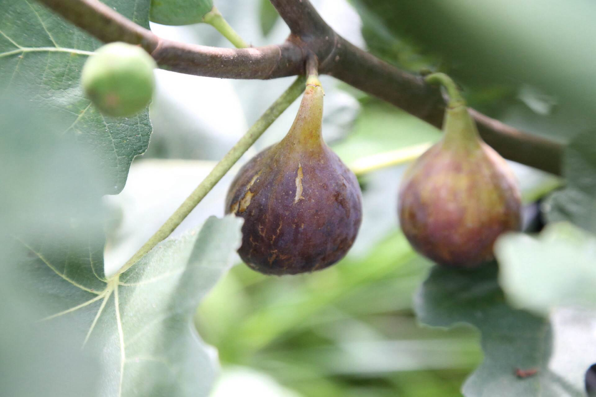 A nice ripe fig. Some varieties will develop some cracks in the skin as part of the normal ripening process.