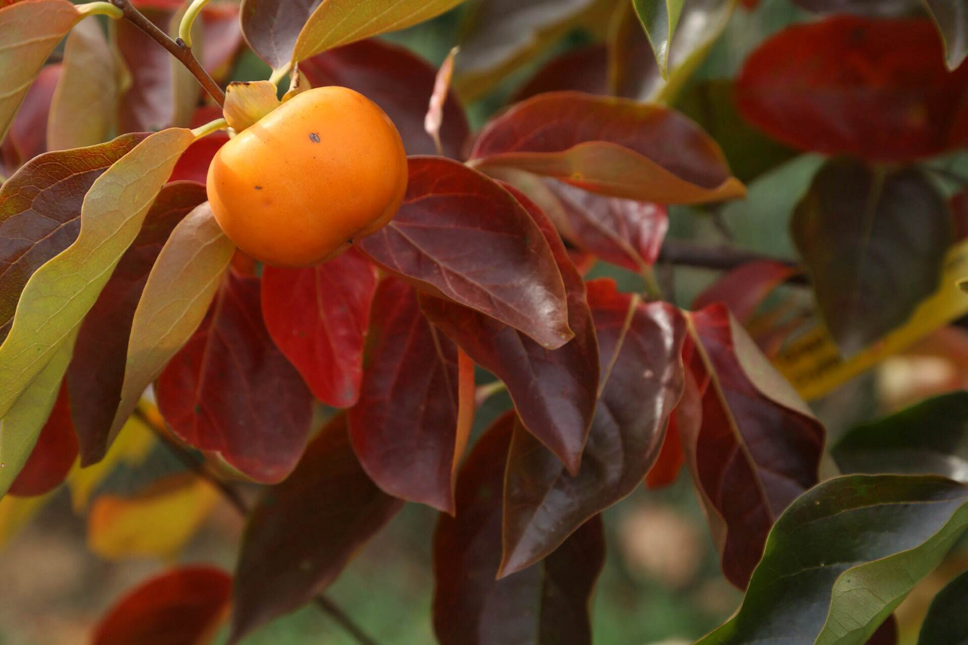 'Great Wall' Asian persimmon with shades of foliage. Once the leaves drop the orange fruit will continue to hang on the tree up through early winter.