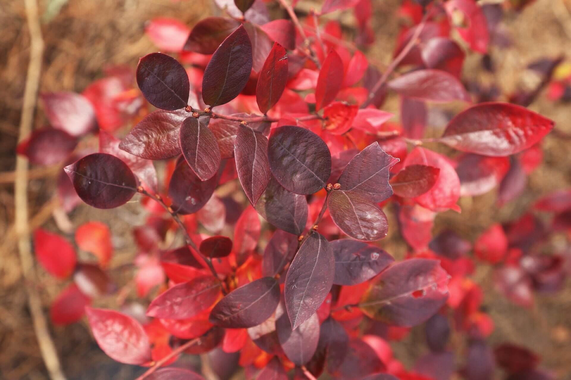Purple leaves mature to a bright red on this blueberry bush