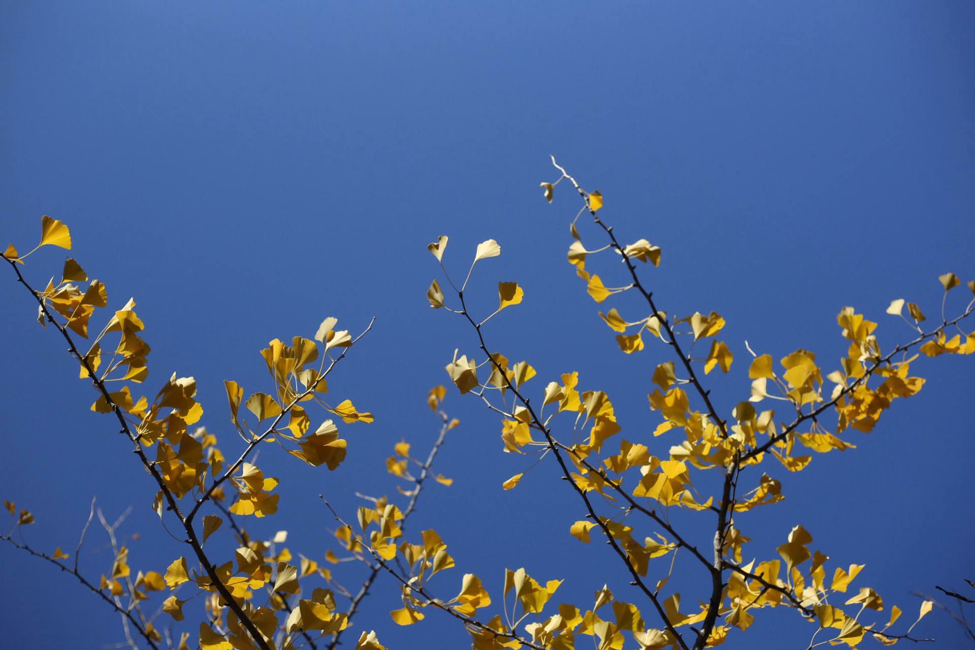 A gingko's beautiful yellow leaves against a bright blue sky