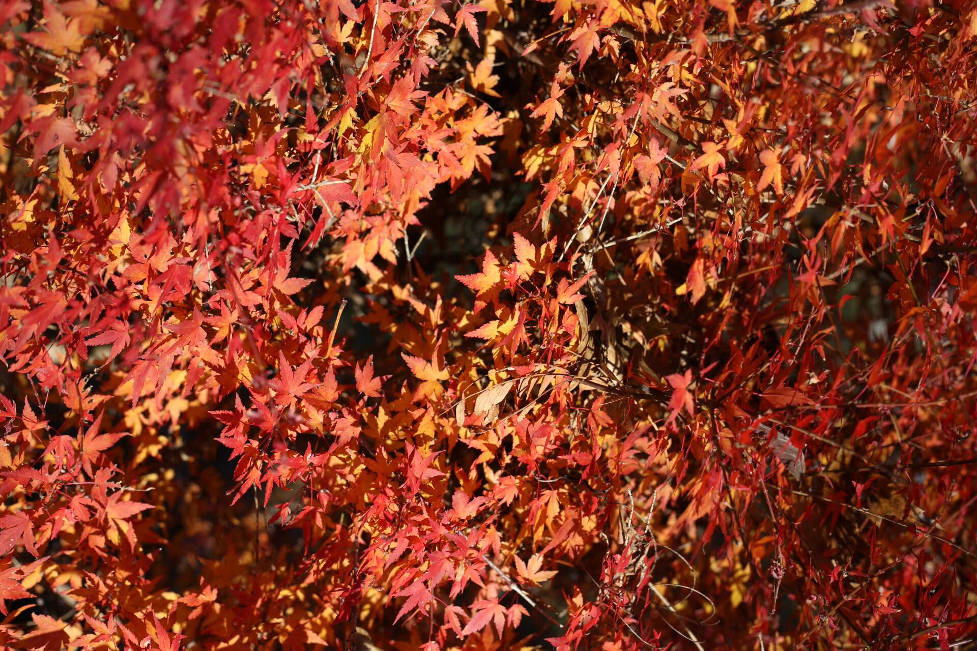 japanese_maple_3.jpg