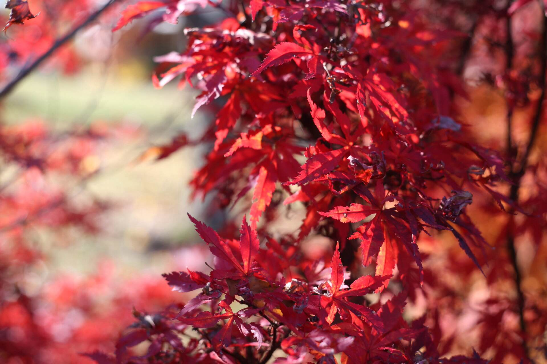 japanese_maple_5.jpg