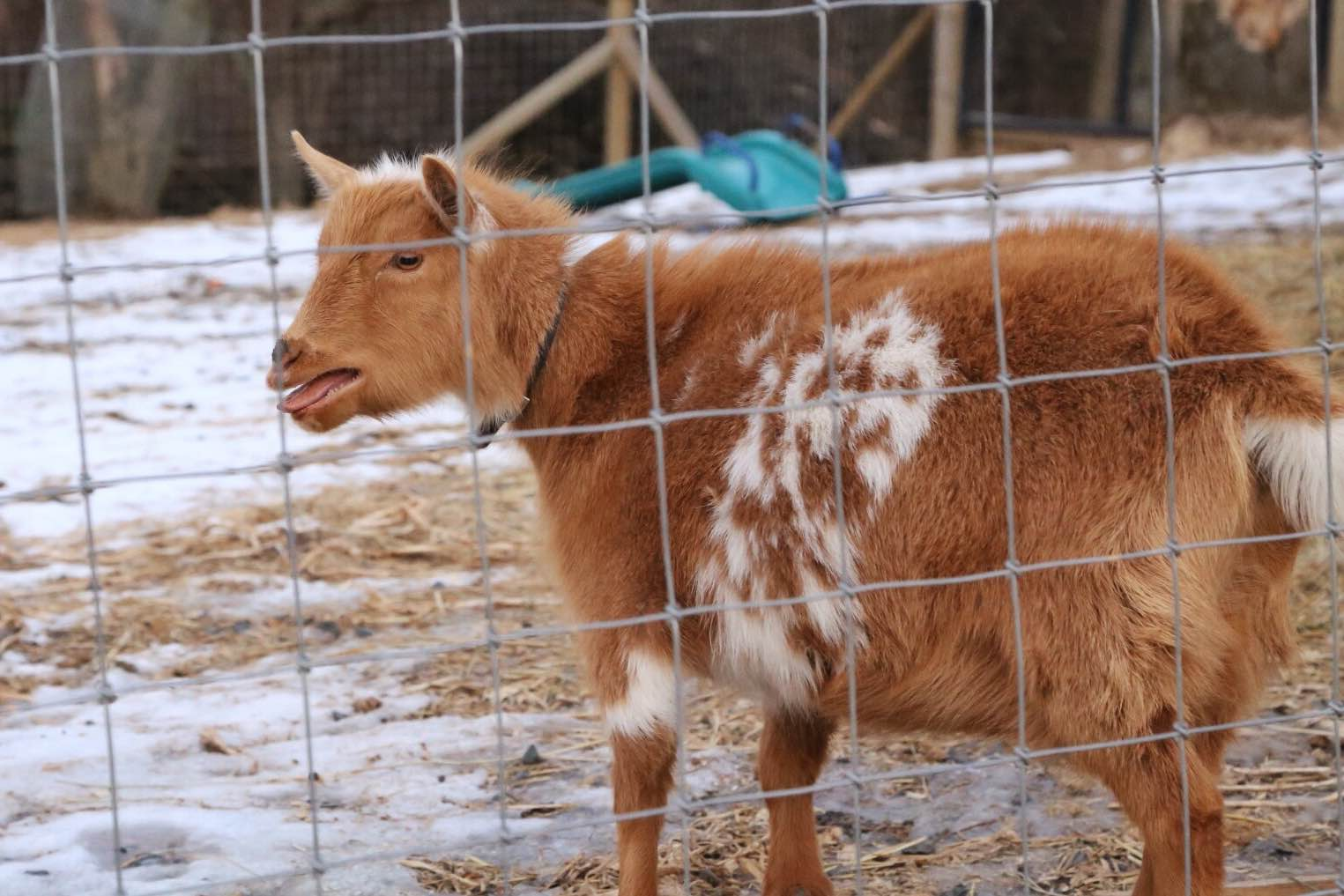 A pregnant Finny. Baby goats this spring!