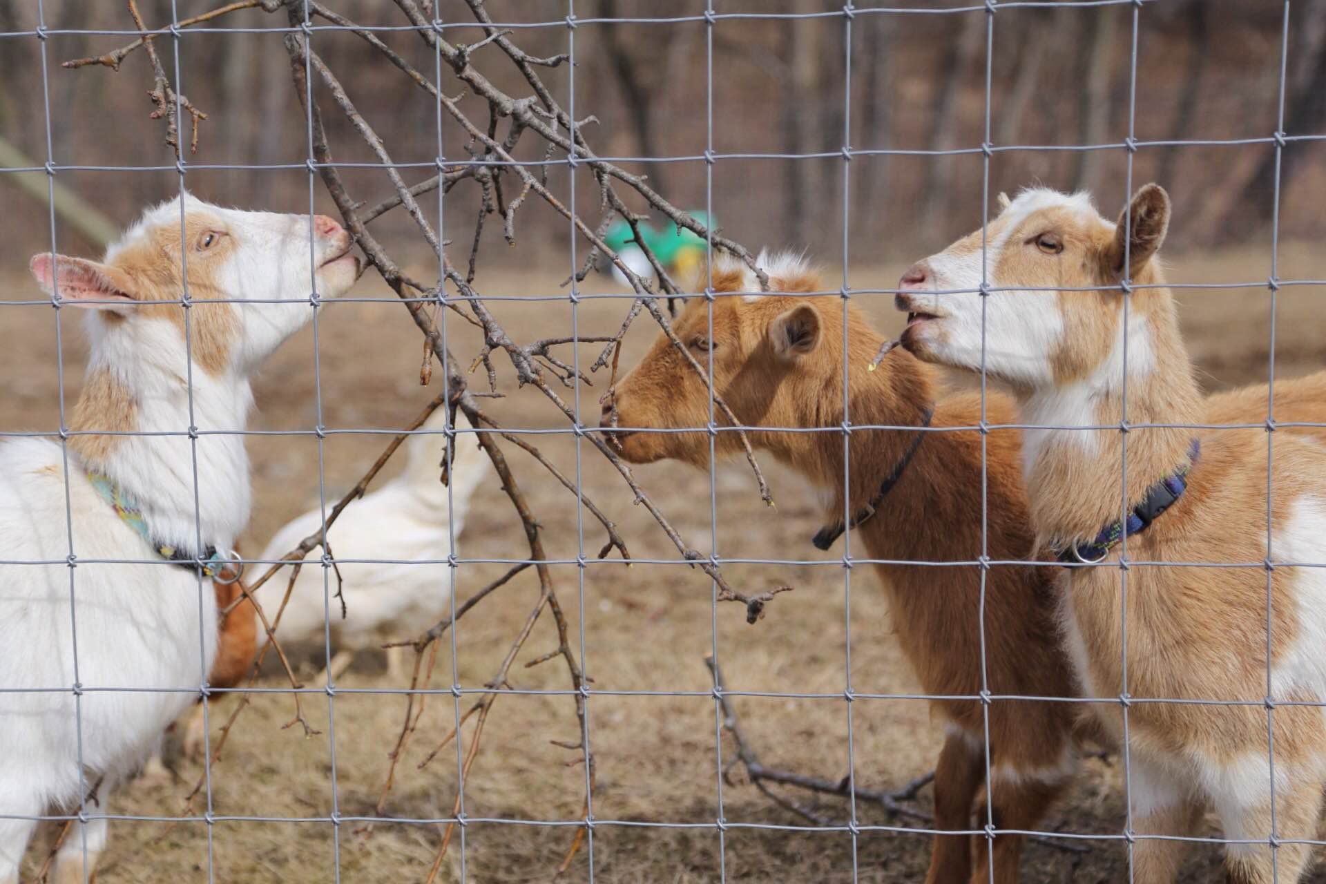The goats enjoying a tasty treat of pear tree trimmings.