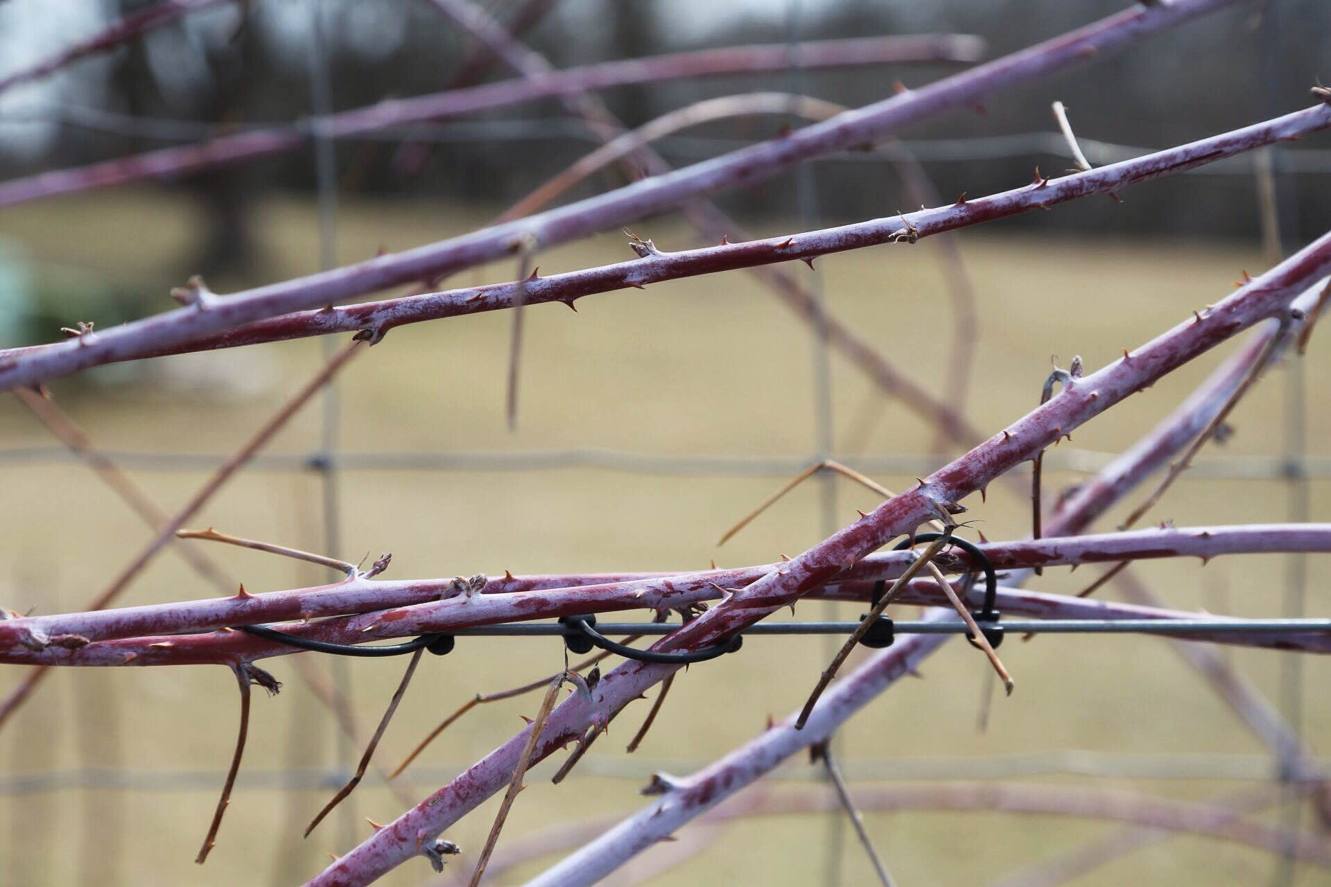 The bare red-purple canes of the black raspberry contrast beautifully against our fence.