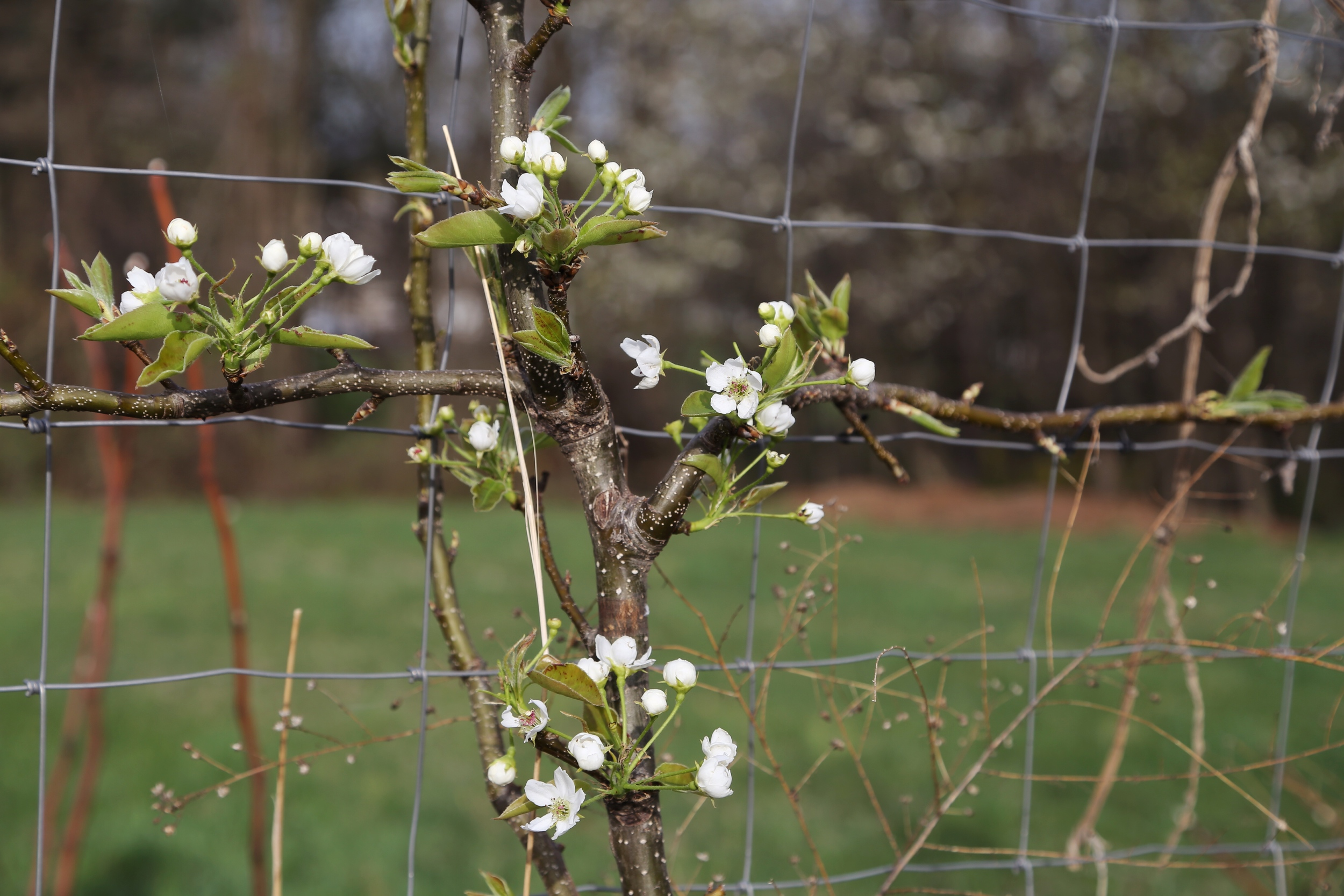 An espaliered Asian pear 'Yoinashi' is among the first to bloom.