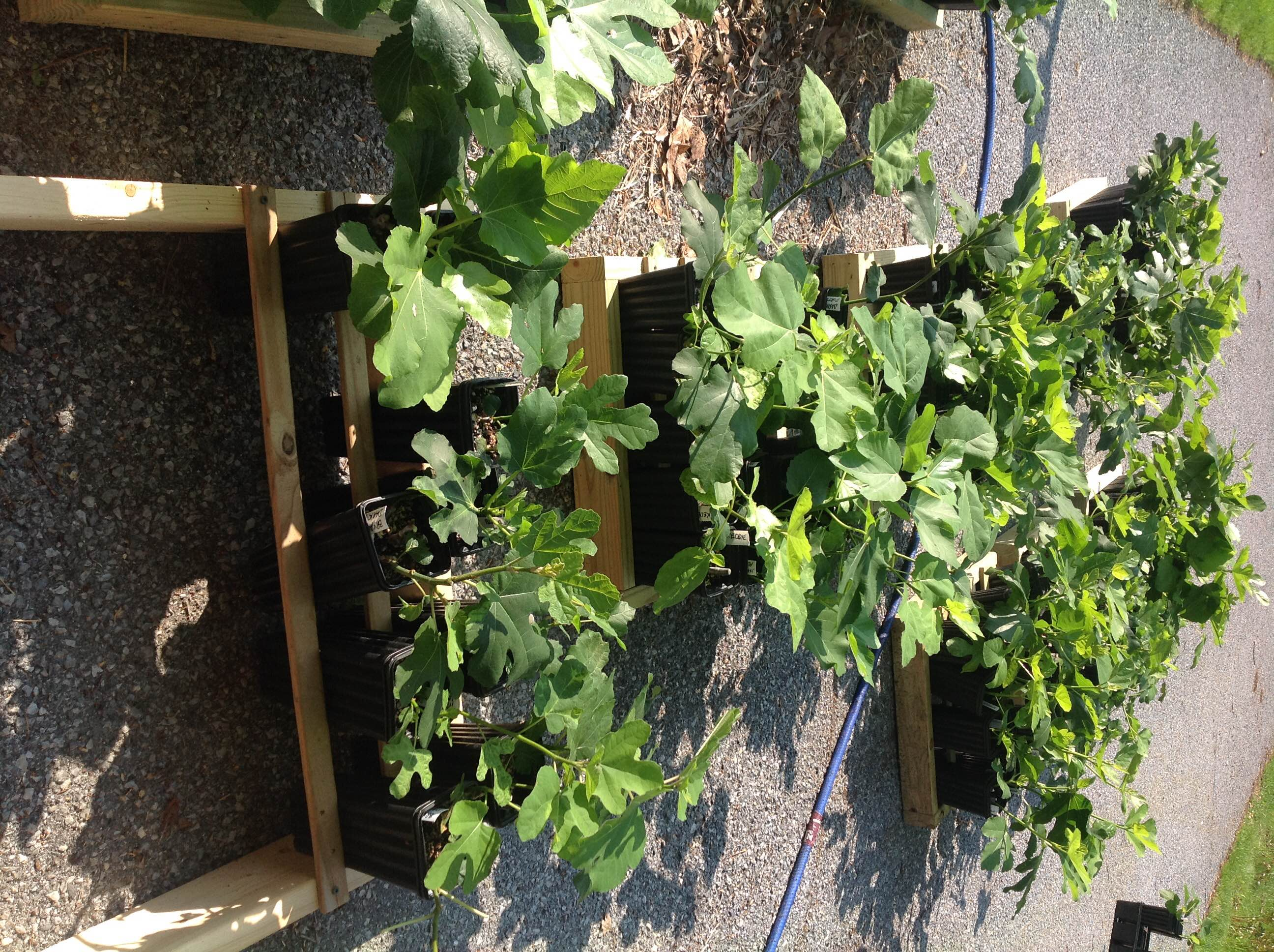 Baby fig trees in need of a good home