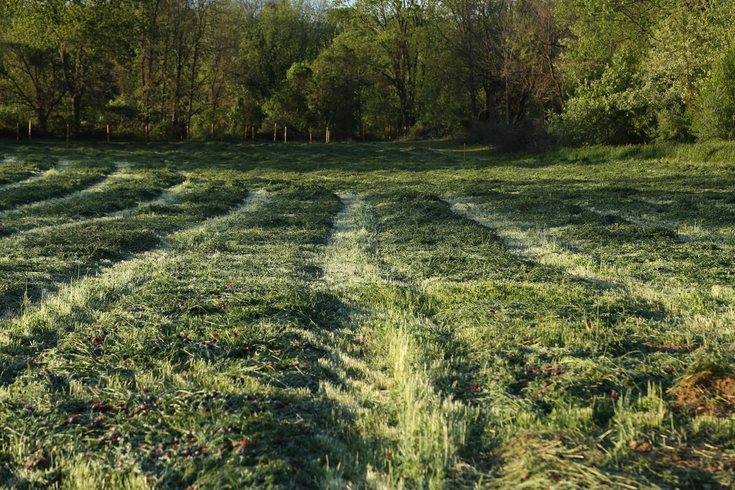 Part of our cover crop, cut for hay