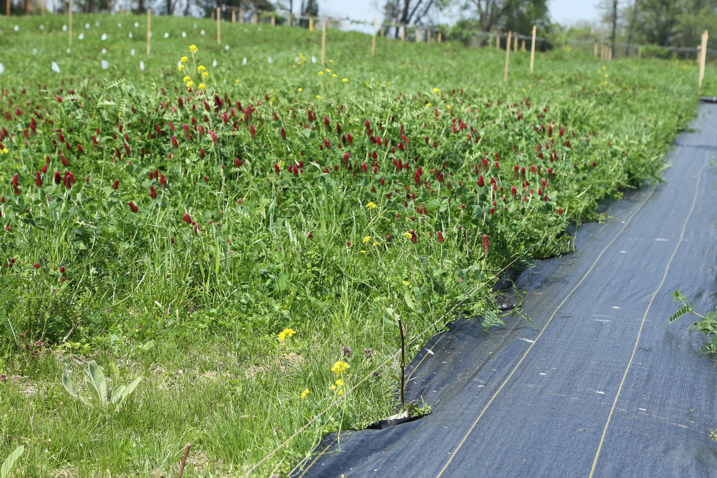 A weed barrier partially in place for our blackberries.