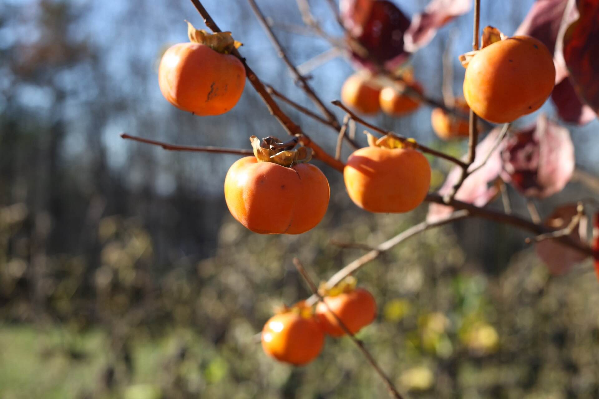 Bright orange persimmons hanging on to the tree late into the fall after the leaves are gone.