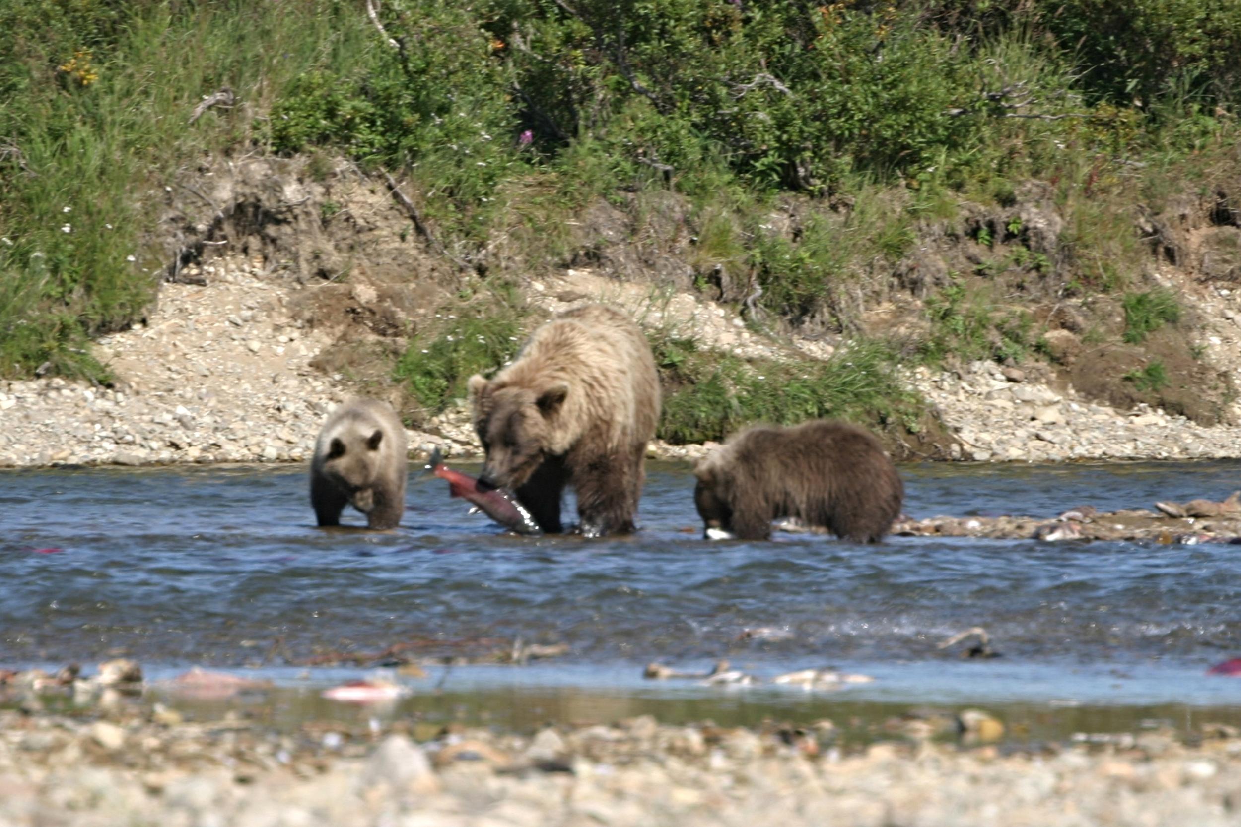Bears with Salmon.jpeg