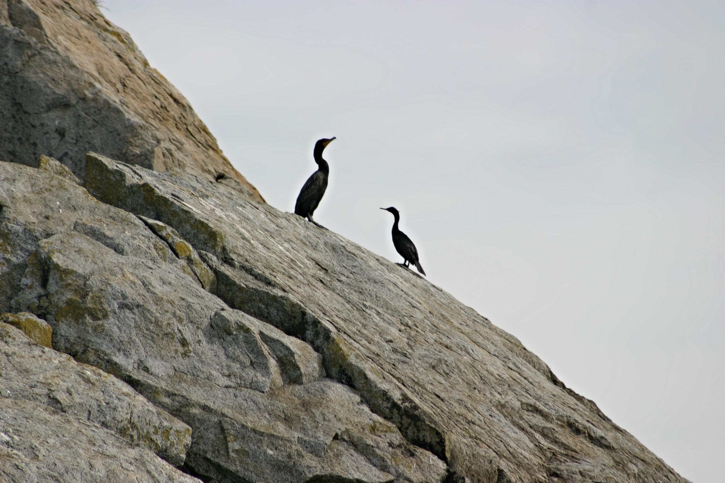 106-W08 2003 Cormorants.jpg