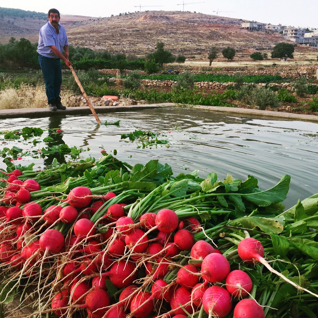 Heirloom radishes, destined for Bethlehem markets,washed in springwater after they were picked in the village of Wadi Fukin. The fields belong to farmer Mahmoud Mifreh, known as Abu Diyaa, below left. That's Seed Library founder Vivien Sansour, her arms full of radishes,below right.