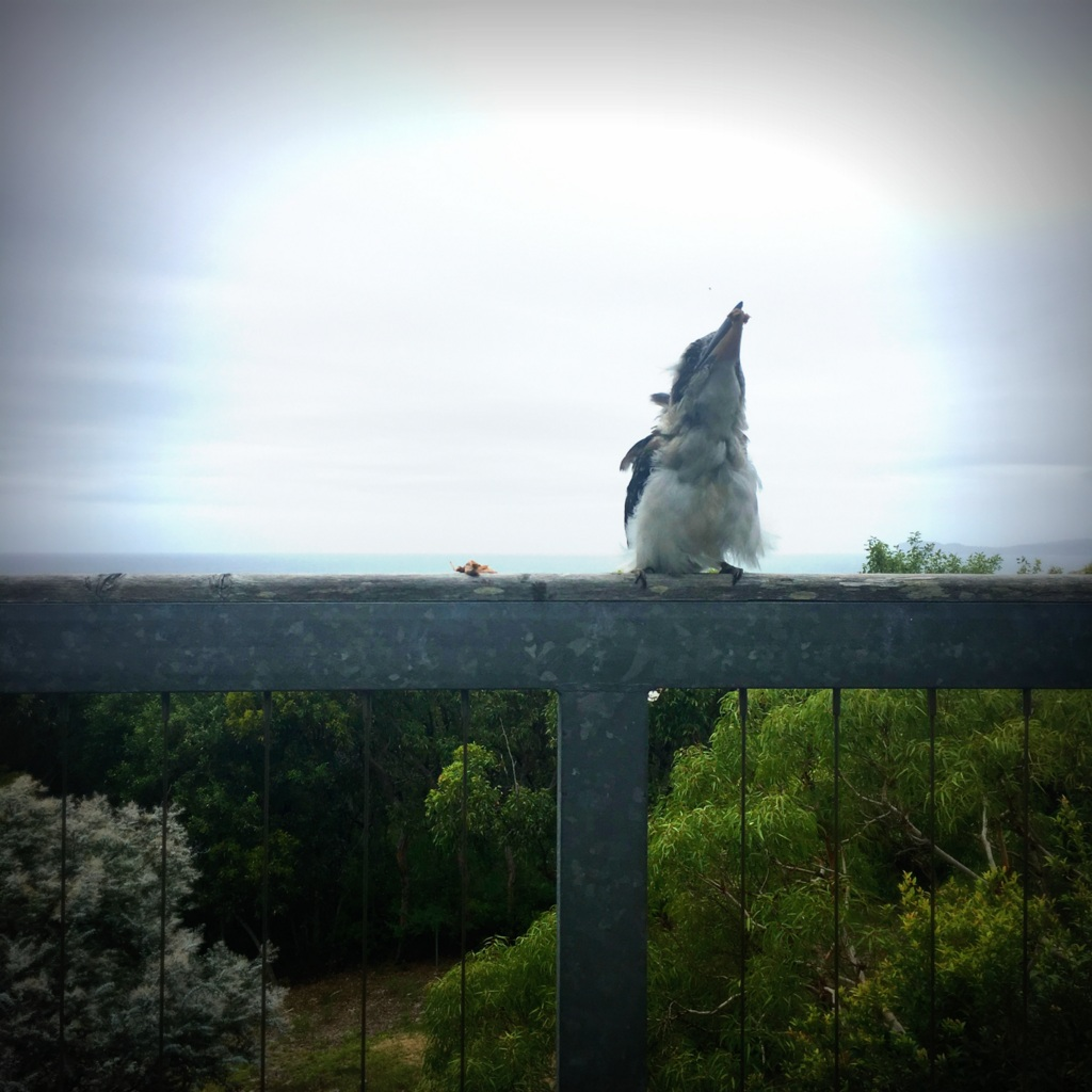 Kookaburra taking no chances - he whacks the lamb against the fence to kill it before swallowing it! Wonder if they missed us as much as we missed them?