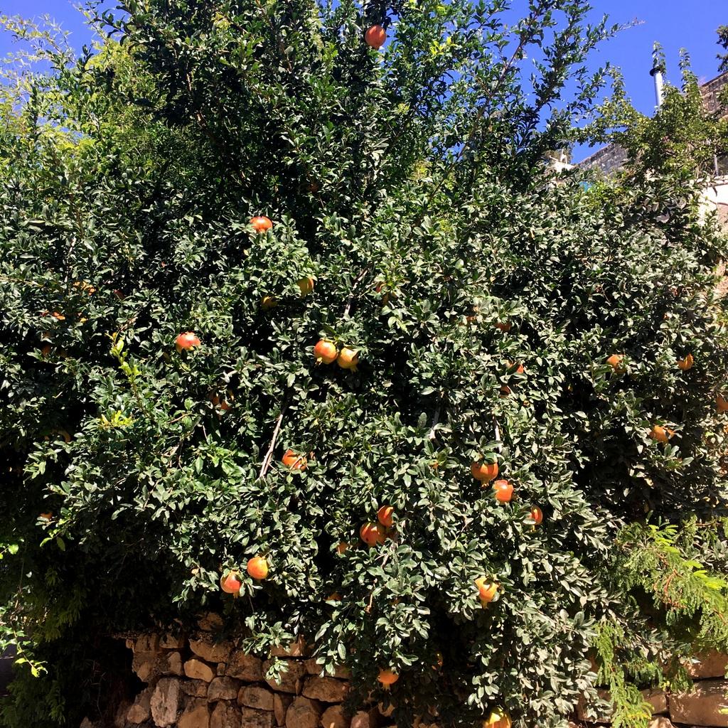 Pomegranate tree at the bottom of my landlady's garden.