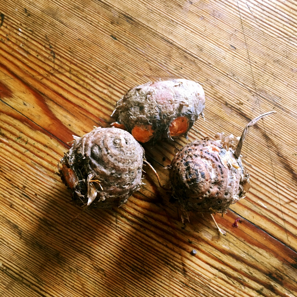 End of season, knobbly turmeric. They look something a hobbit might grow in his garden...