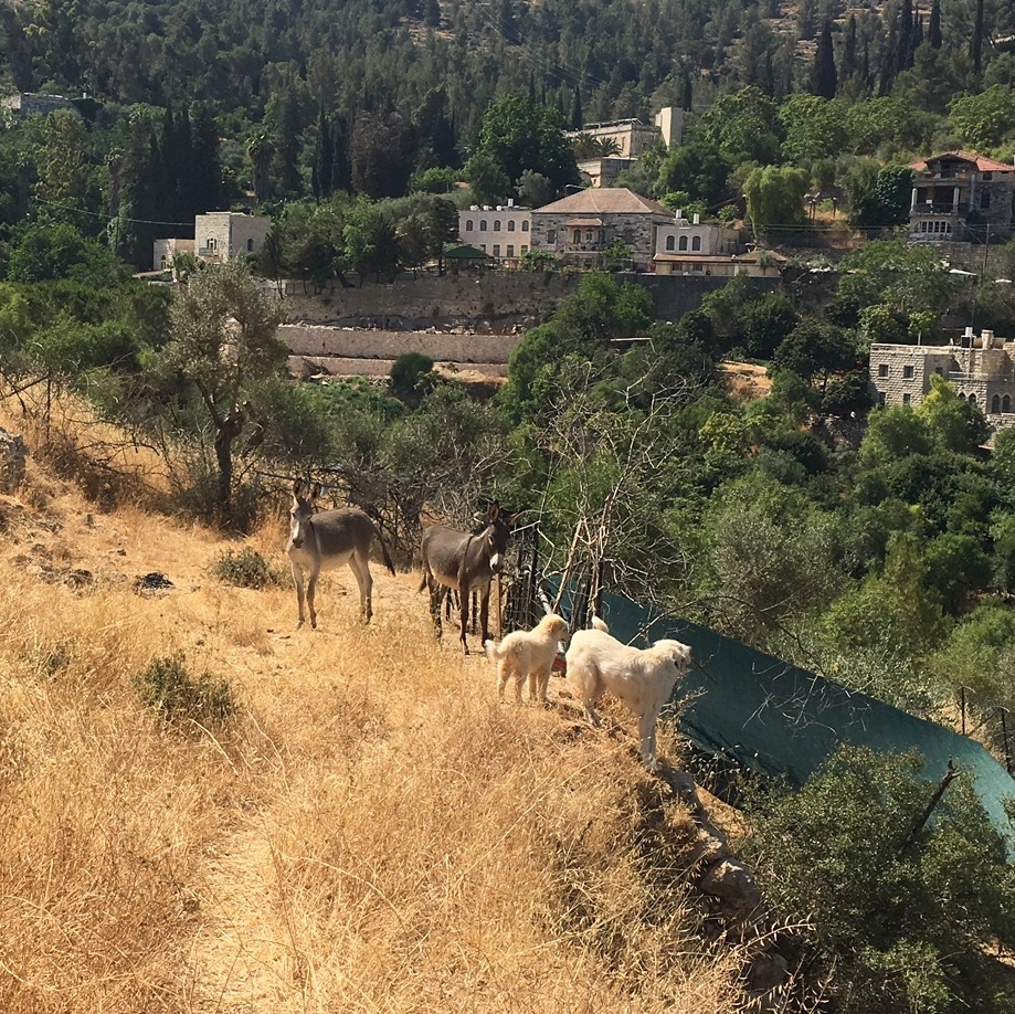 Goats, donkeys and dogs near my home in Ein Kerem.