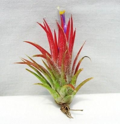 Tillandsia ionantha Mexican