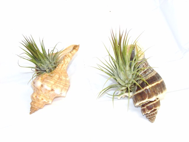 #183 Shell with plant