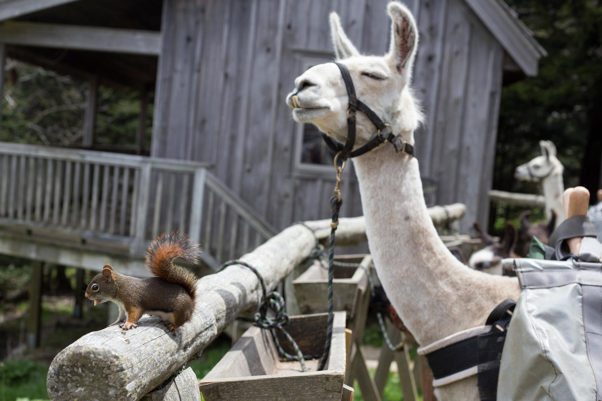 llamas_squirrel_mtleconte_web.jpg