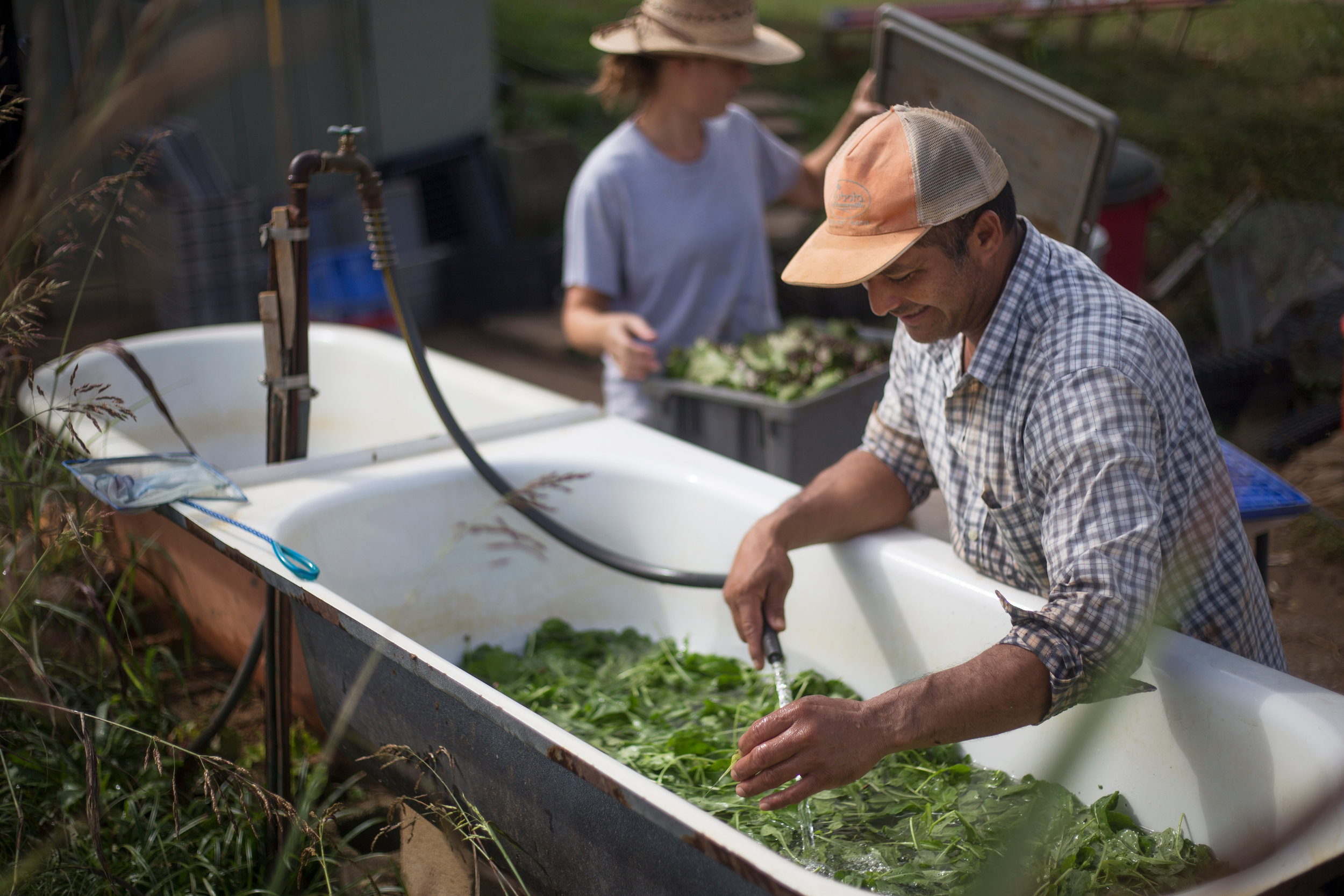 Co-owner Lalo Lazaro washes arugula Oct. 10, 2017.