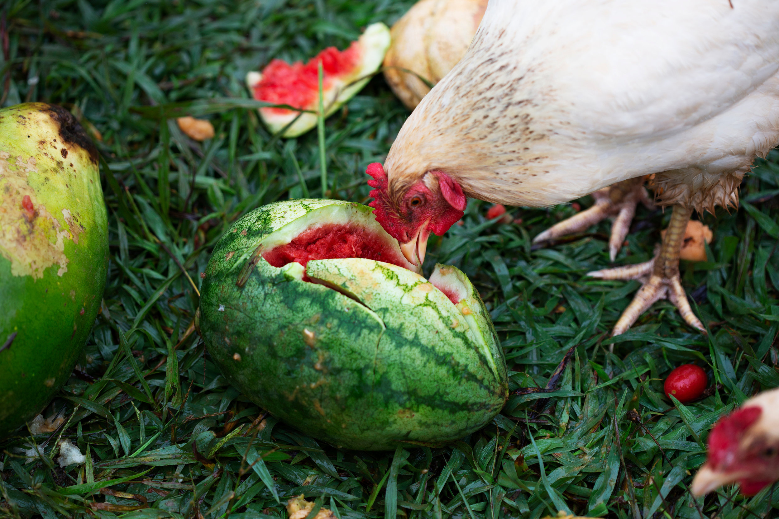 A chicken snacks on an old watermelon Aug. 2, 2018. It is important to Megan and Lalo that their farm be an ecosystem that helps sustain itself. They grow the vegetables and fruits in the dirt that is fertilized by the chickens, who then get to enjoy the benefits of the land that they help to sustain.