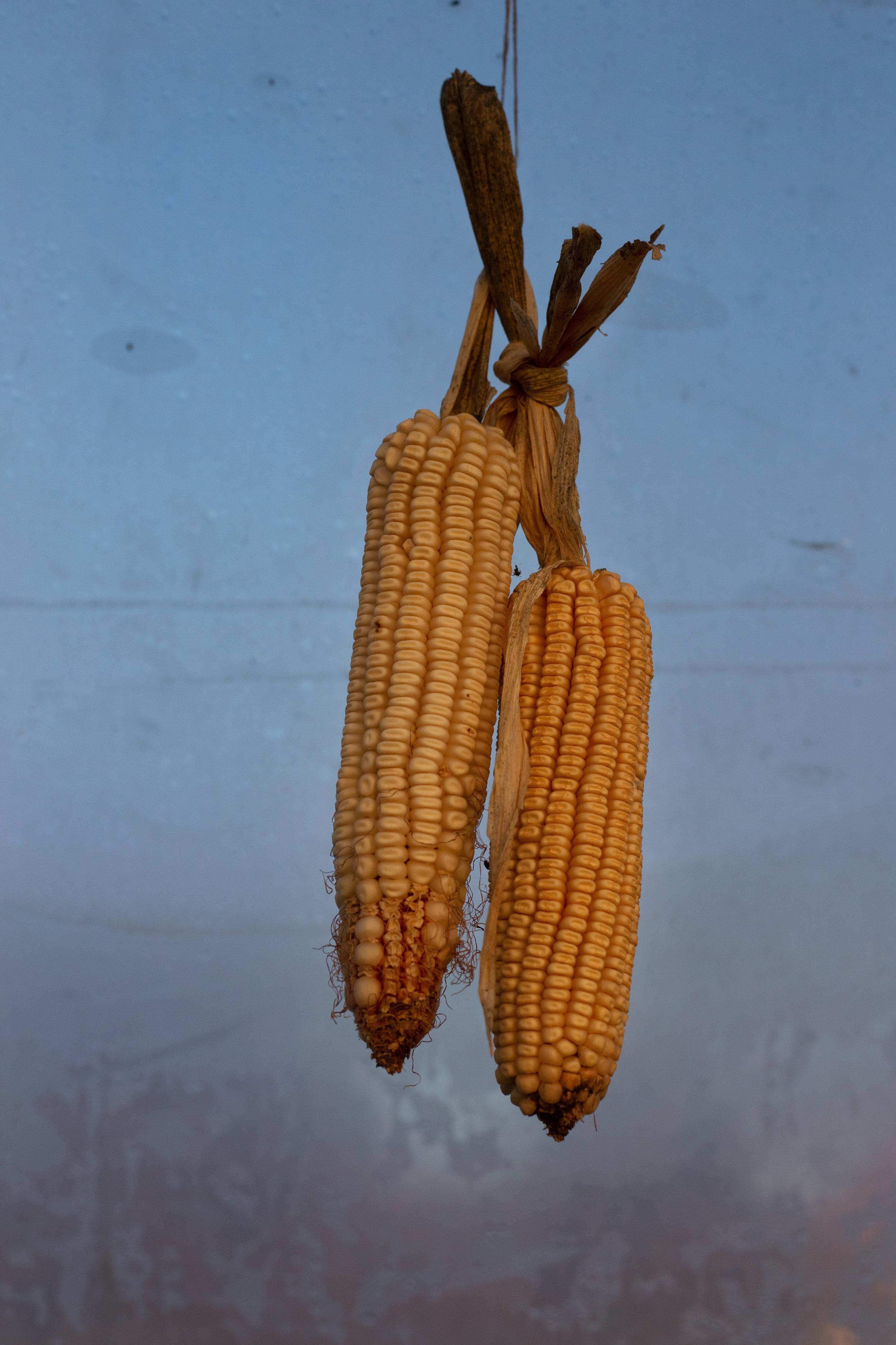 COTE_corn_web.jpg