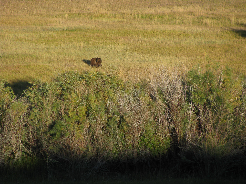 bear in the meadow.jpg