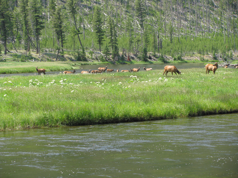 Elk in Yellowstone Park.jpg