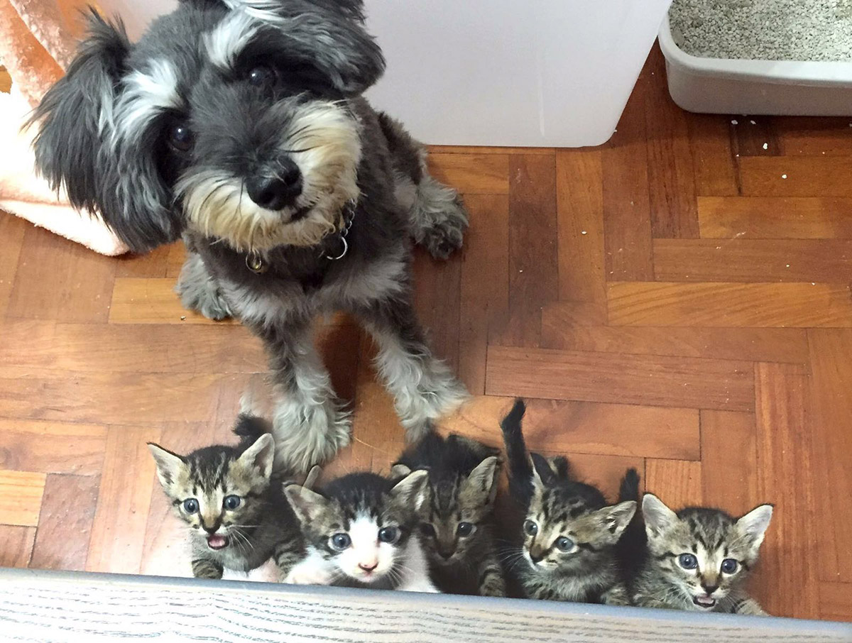 Trixie  (5 years old, miniature schnauzer) with another litter of 5 kittens that Dilun and his girlfriend was fostering a few weeks ago.